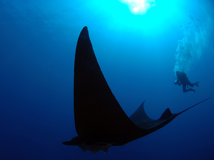 Manta Descent - copyright Ken Knezick, Island Dreams