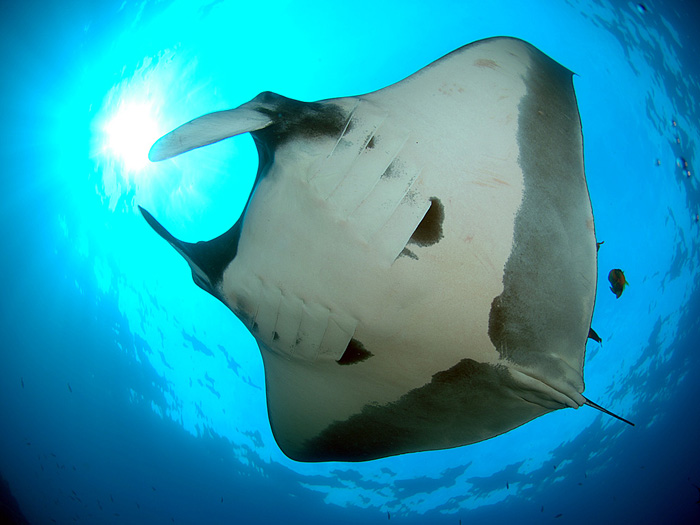 Magnificent Manta Ray - copyright Ken Knezick, Island Dreams