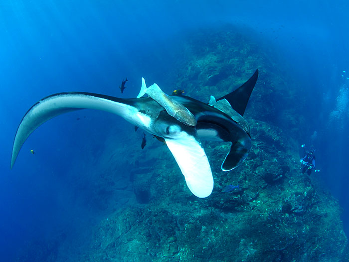 Manta Ray with John Amador - copyright Ken Knezick, Island Dreams