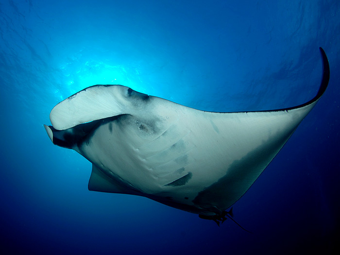 Manta Ray  Departing- copyright Ken Knezick, Island Dreams
