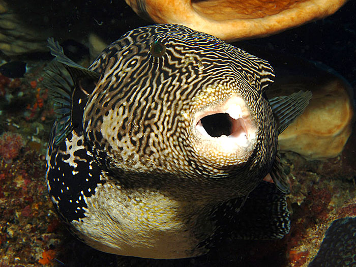Mapped Puffer - copyright Ken Knezick, Island Dreams