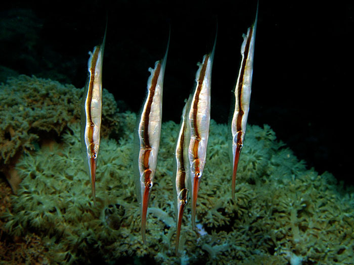 Razor Fish - copyright Ken Knezick, Island Dreams