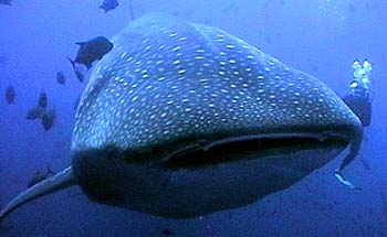 Dive with whale sharks at Socorro -- photo by Holly Wilmarth