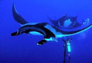 Dive with mantas at Socorro with Solmar V