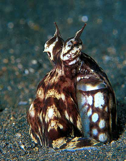 Watch for the Mimic Octopus