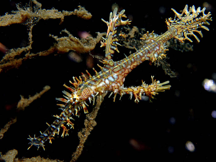 Ornate Ghost Pipefish - copyright Ken Knezick, Island Dreams