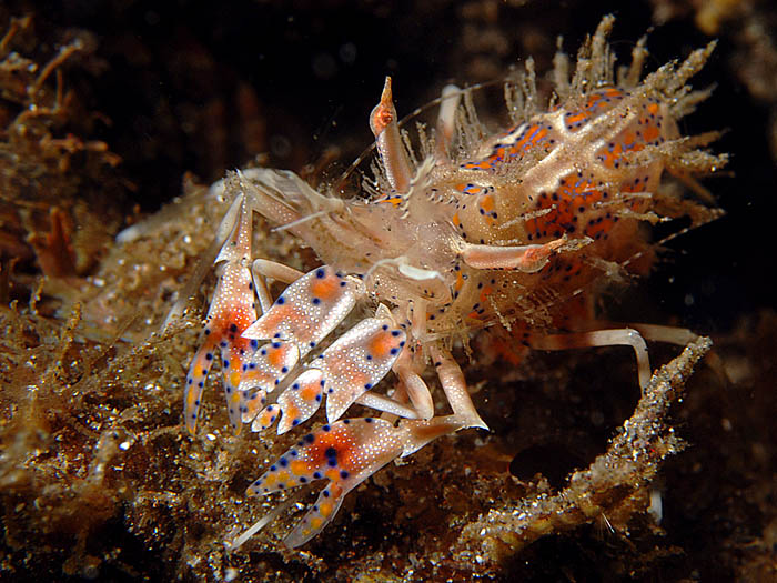 Tiger Shrimp - copyright Ken Knezick, Island Dreams