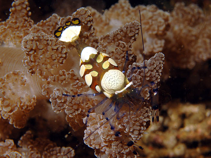 Anemone Shrimp - copyright Ken Knezick, Island Dreams