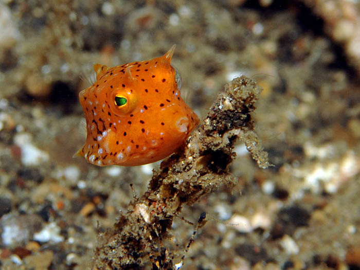 Juvenile Cowfish - copyright Ken Knezick, Island Dreams