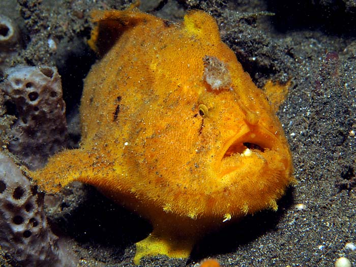 Lembeh Frogfish - copyright Ken Knezick, Island Dreams