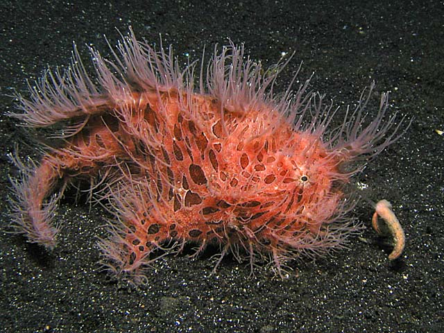 Hairy Frogfish Hunting - Copyright Ken Knezick