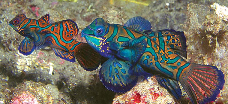 Mandarin Fish Love - Copyright Ken Knezick
