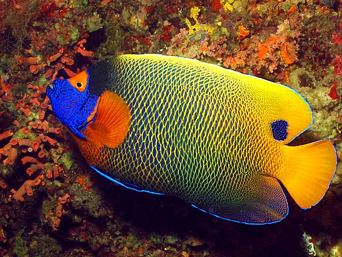 Blueface Angelfish - Copyright Ken Knezick, Island Dreams