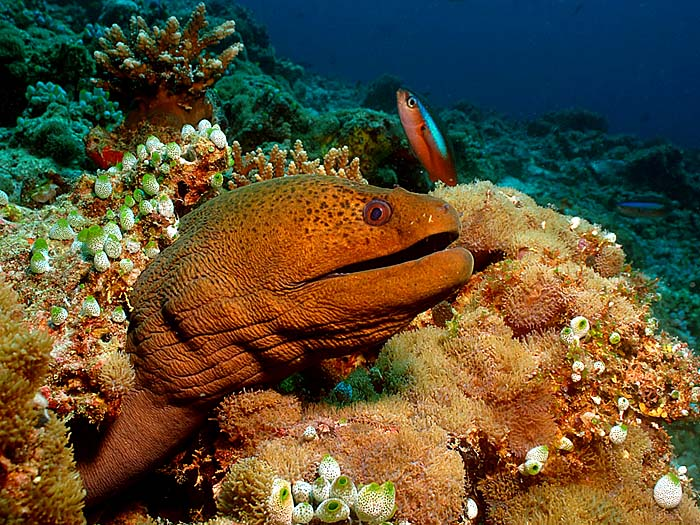 Moray Eel in the Maldives - Copyright Ken Knezick, Island Dreams