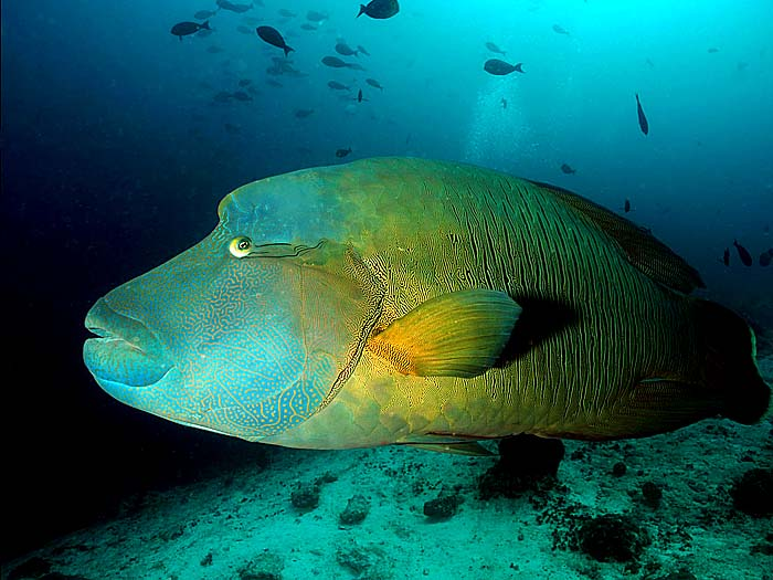 Napoleon Wrasse in the Maldives - Copyright Ken Knezick, Island Dreams