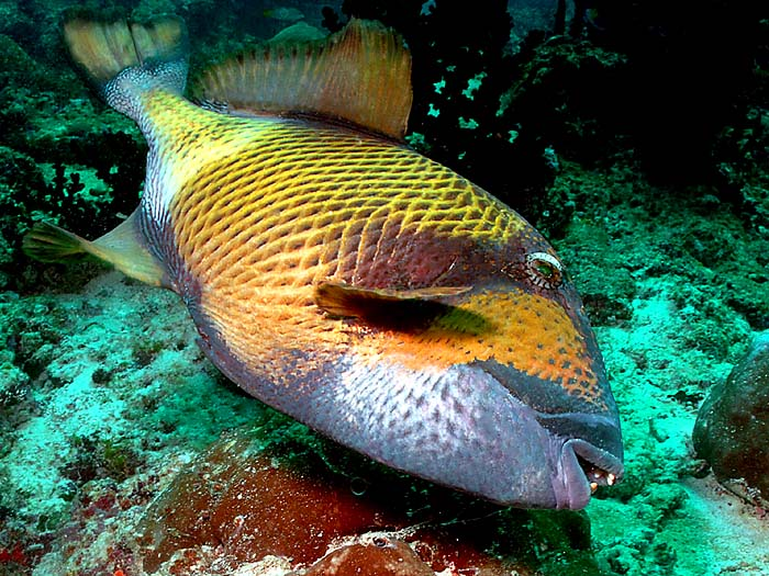 Titan Triggerfish in the Maldives - Copyright Ken Knezick, Island Dreams