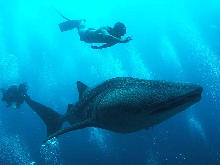 Whale Shark in the Maldives - Copyright Ken Knezick, Island Dreams