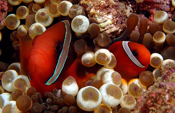 Pair of Anemone Fish at Puerto Galera, Philippines - copyright 2010, Ken Knezick