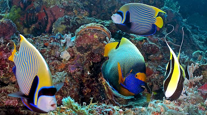 Angelfish at Tubbataha Reef - copyright Tom Collier, HUPS