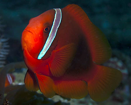 Spine-cheeked Anemone Fish - Copyright Tom Collier, HUPS