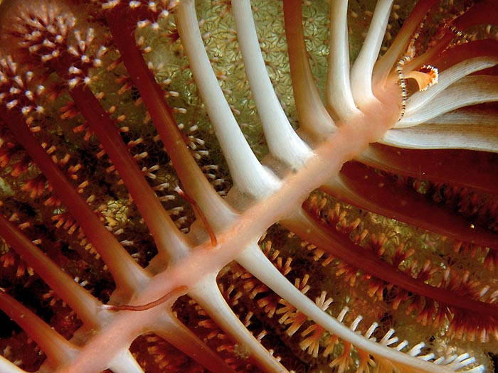 Sea Pen - copyright Ken Knezick, Island Dreams