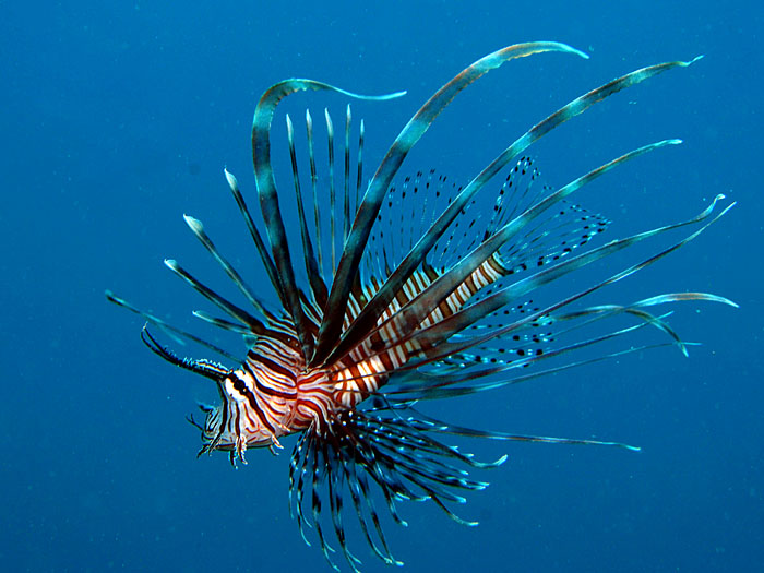 Lionfish in Blue - copyright Ken Knezick, Island Dreams