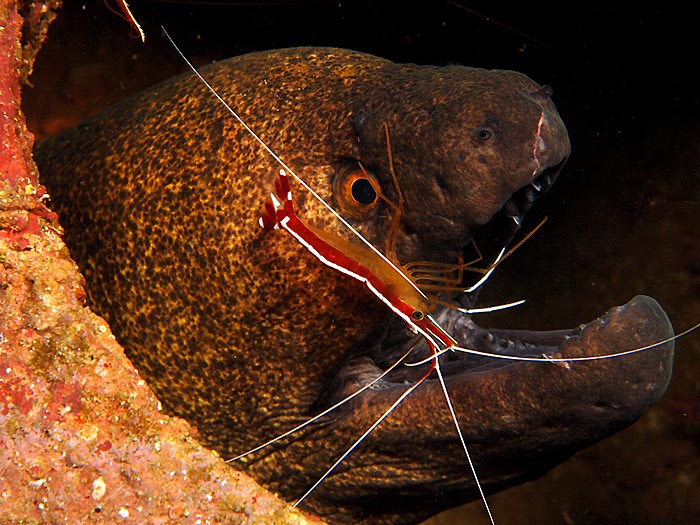 Moray & Cleaner Shrimp - copyright Ken Knezick, Island Dreams
