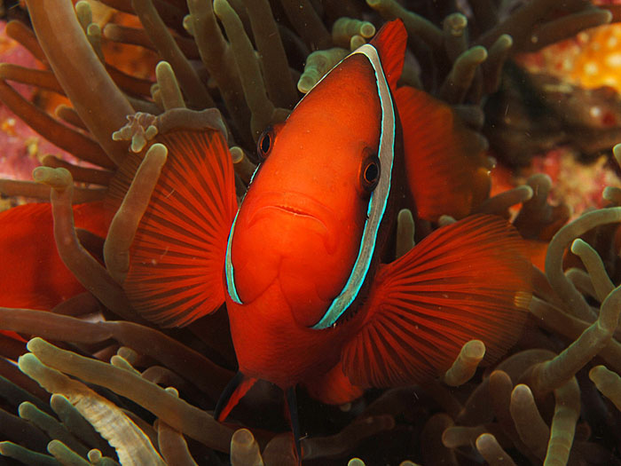 Spine-cheeked Anemonefish - copyright Ken Knezick, Island Dreams