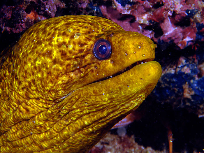 Golden Moray - copyright Ken Knezick, Island Dreams