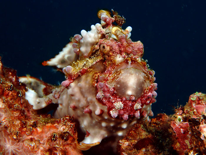Warty Frogfish - copyright Ken Knezick, Island Dreams