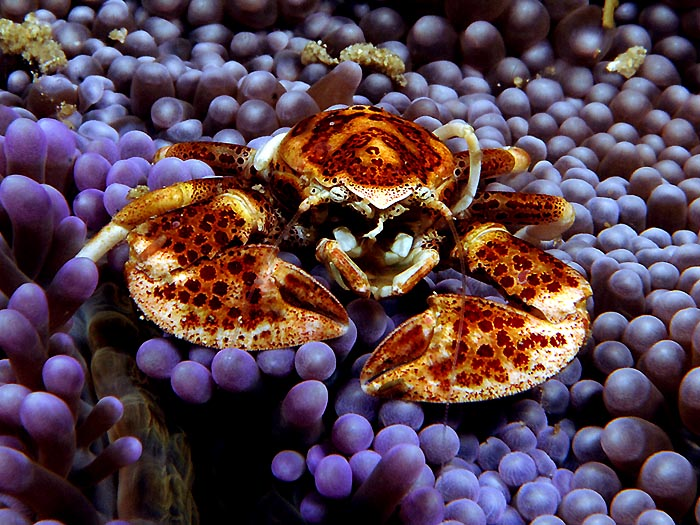 Porcelain Crab in Anemone - copyright Ken Knezick, Island Dreams