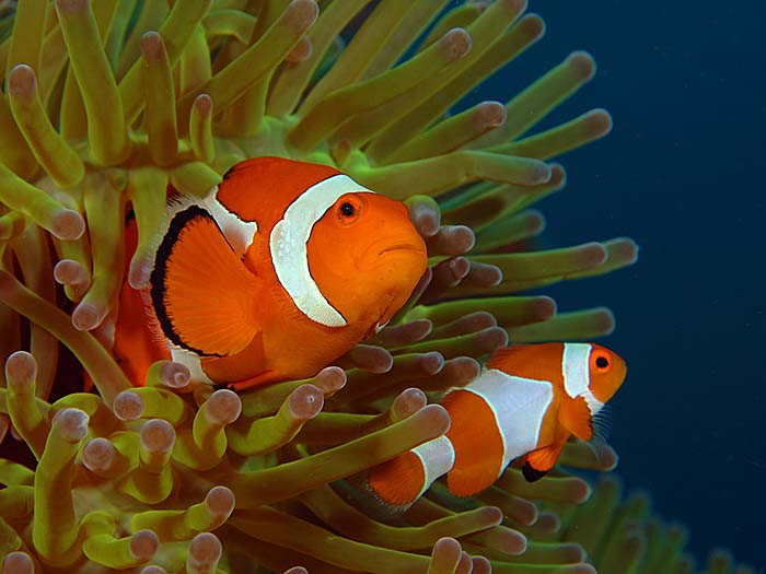 Clown Fish - copyright Ken Knezick, Island Dreams