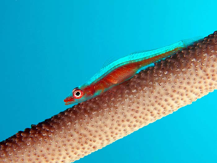 Sea-Whip Goby - copyright Ken Knezick, Island Dreams