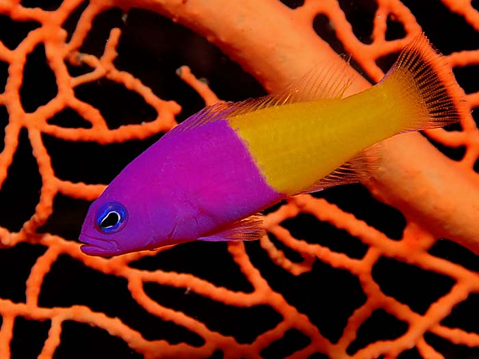 Two-Colour Dottyback - copyright Ken Knezick, Island Dreams