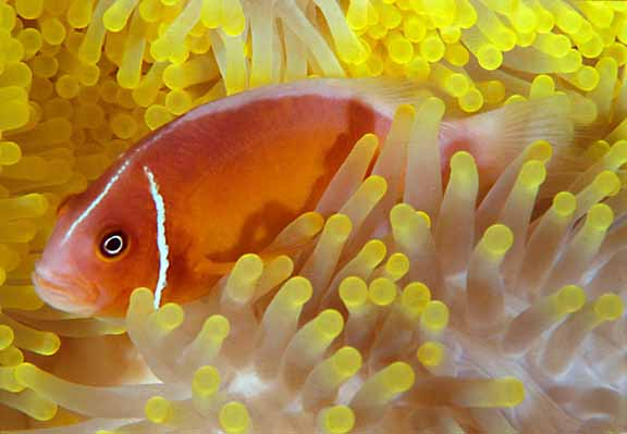 A beautiful Anemone fish