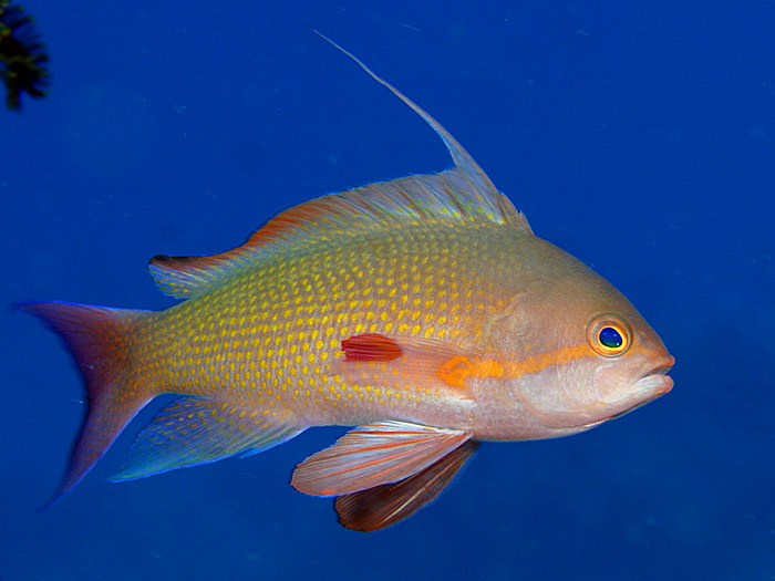 Orange Sea Perch - copyright Ken Knezick, Island Dreams