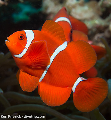Spine-cheek anemone fish by Ken Knezick