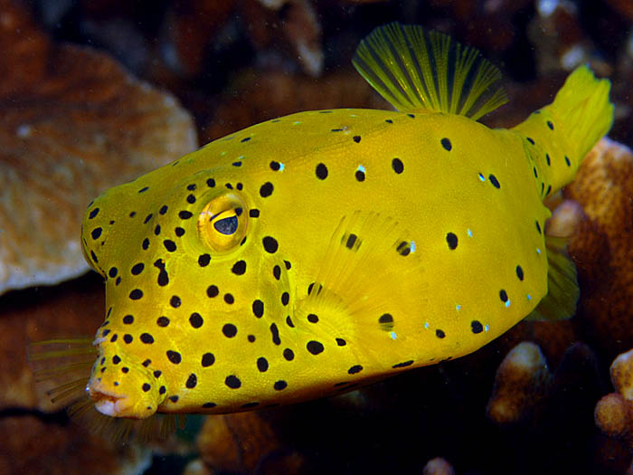 Yellow Boxfish - copyright Ken Knezick, Island Dreams