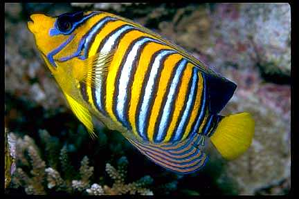 Regal Anglefish