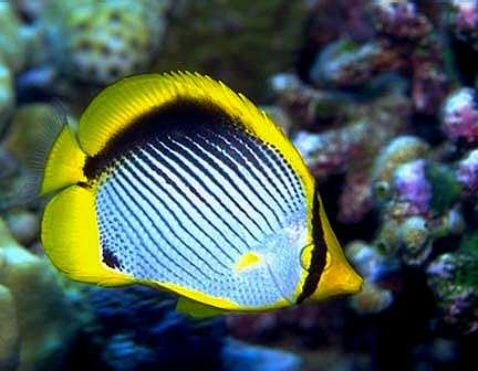Blackback Butterflyfish