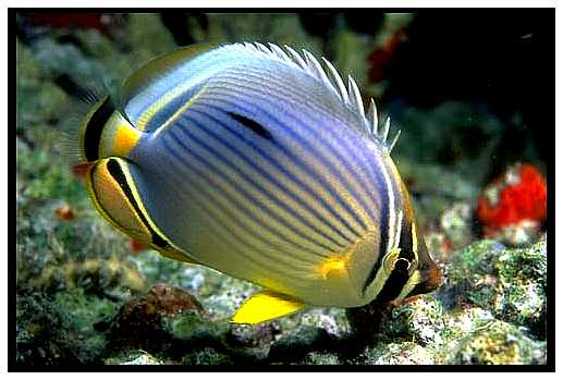 Redfin Butterflyfish