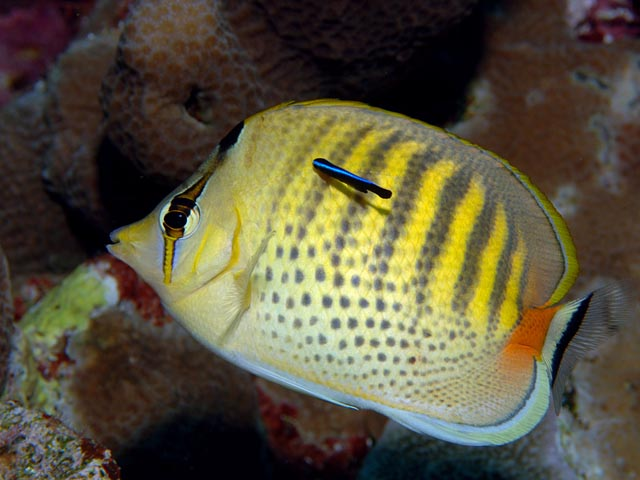 Butterfly Fish and Cleaner Wrasse - Copyright Ken Knezick, Island Dreams