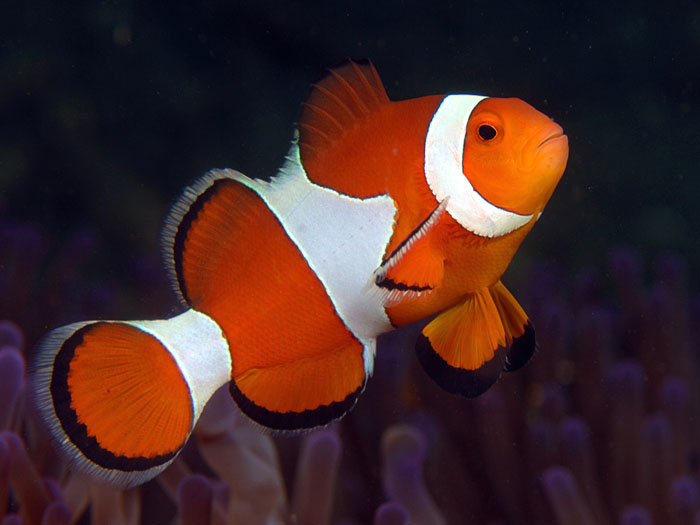 Anemonefish Amphiprion ocellaris - copyright Ken Knezick, Island Dreams