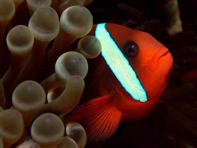 Bridled Anemonefish - Copyright Ken Knezick, Island Dreams