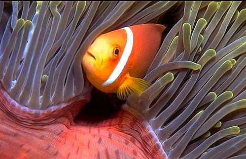 Reclusive Clown Fish