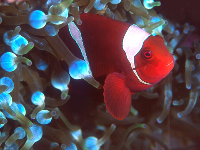 Spine-Cheek Anemone Fish