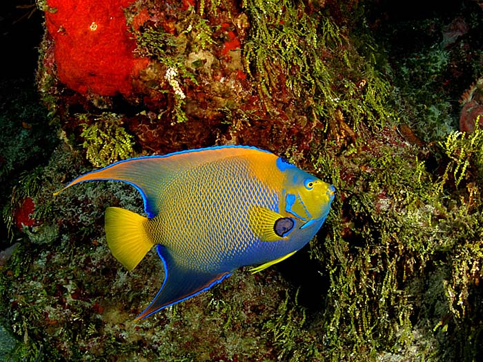 Queen Angelfish - copyright Ken Knezick, Island Dreams