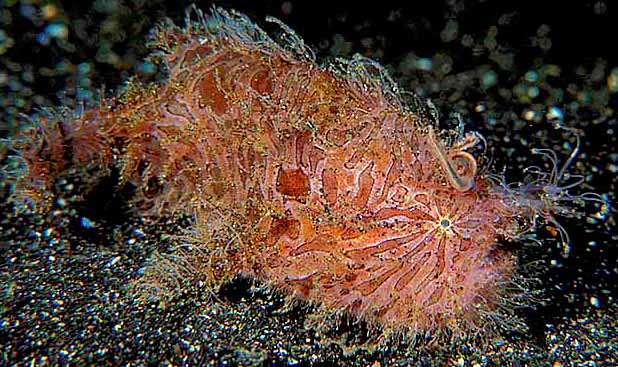 Hairy Frogfish - copyright Ken Knezick, Island Dreams