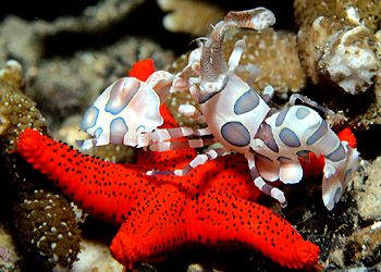 Harlequin Shrimp on Starfish -- copyright Ken Knezick, Island Dreams