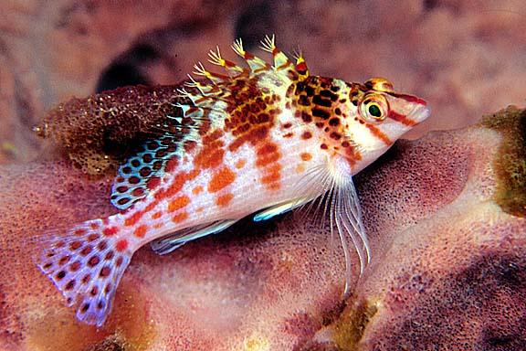 Hawkfish Perched on a Sponge